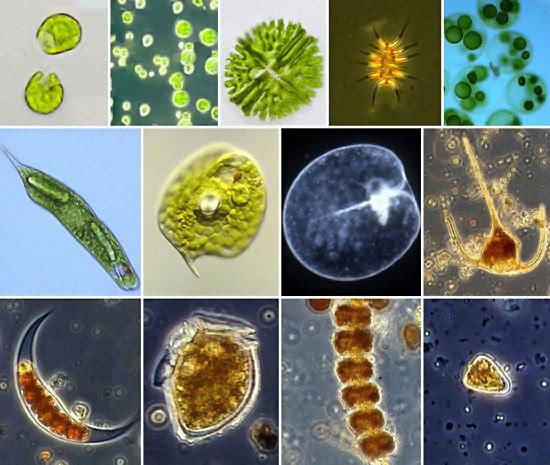 многообразие сине-зелёных водорослей