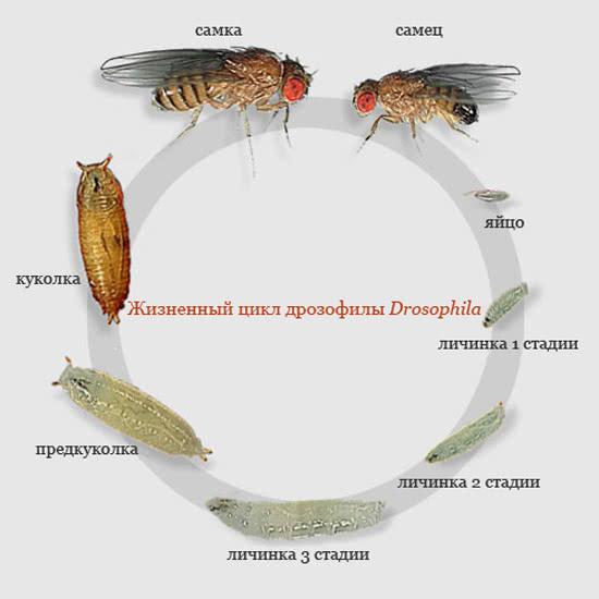 Жизненный цикл мушки Drosophila